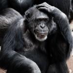 Intelligenz Affe